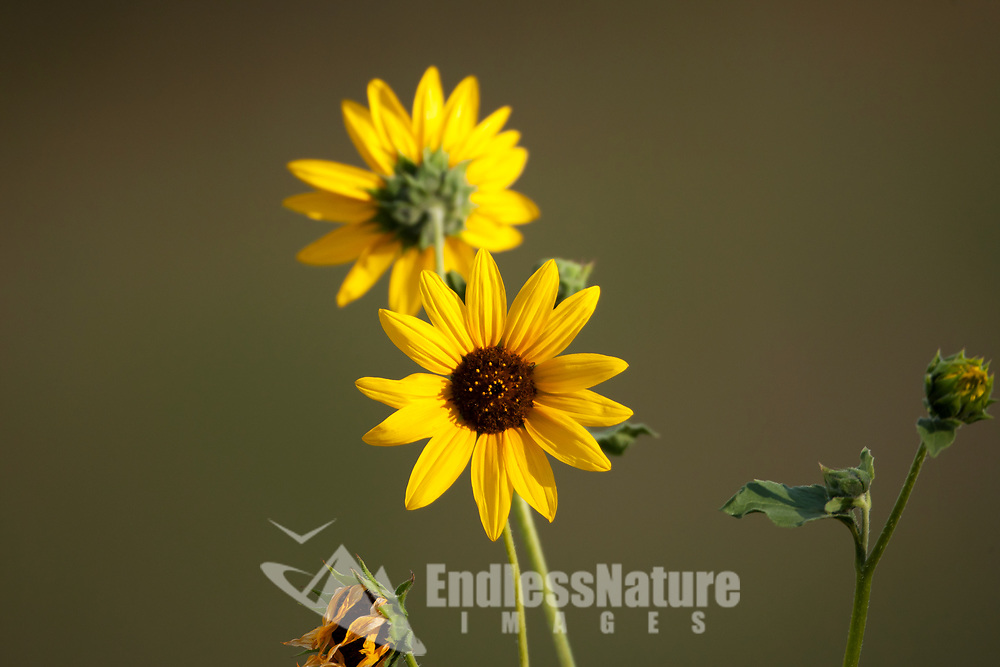 A view into an open small Little Sunflower on a sunny morning.