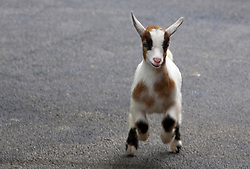 11 July 2010: young goat.  Miller Park Zoo, Bloomington Illinois (Photo by Alan Look)