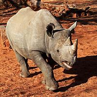 Africa, Zimbabwe, Victoria Falls. Black Rhinoceros.
