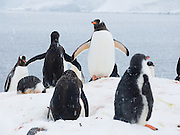 """Gentoo Penguins (Pygoscelis papua) raise chicks in the snow on an Antarctic island. An adult Gentoo Penguin has a bright orange-red bill and a wide white stripe extending across the top of its head. Chicks have grey backs with white fronts. Of all penguins, Gentoos have the most prominent tail, which sweeps from side to side as they waddle on land, hence the scientific name Pygoscelis, """"rump-tailed."""" As the the third largest species of penguin, adult Gentoos reach 51 to 90 cm (20-36 in) high. They are the fastest underwater swimming penguin, reaching speeds of 36 km per hour."""
