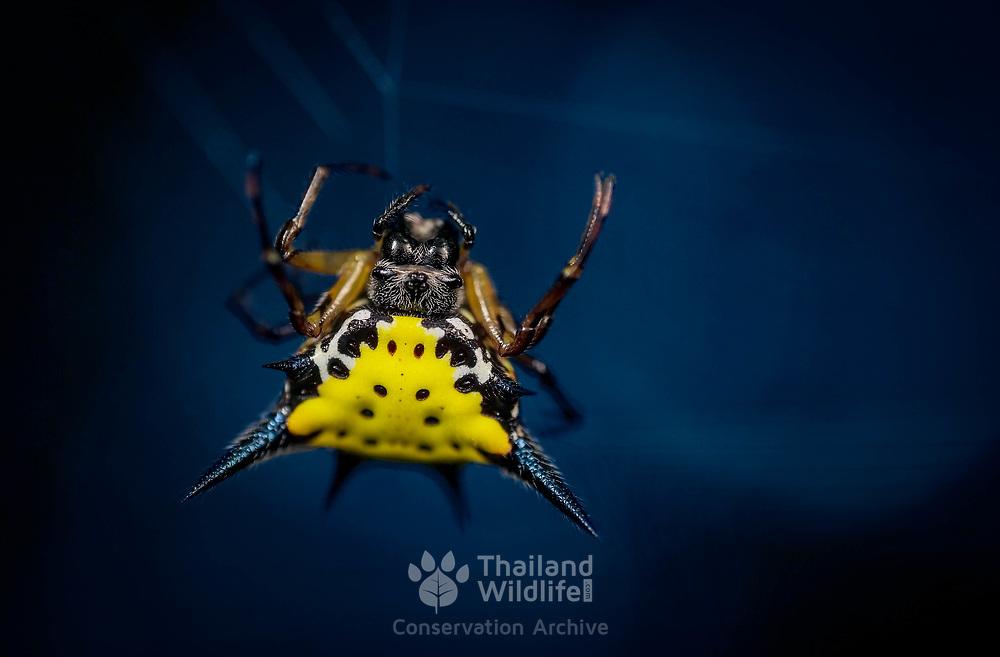 Hasselt's Spider (Gasteracantha hasseltii)