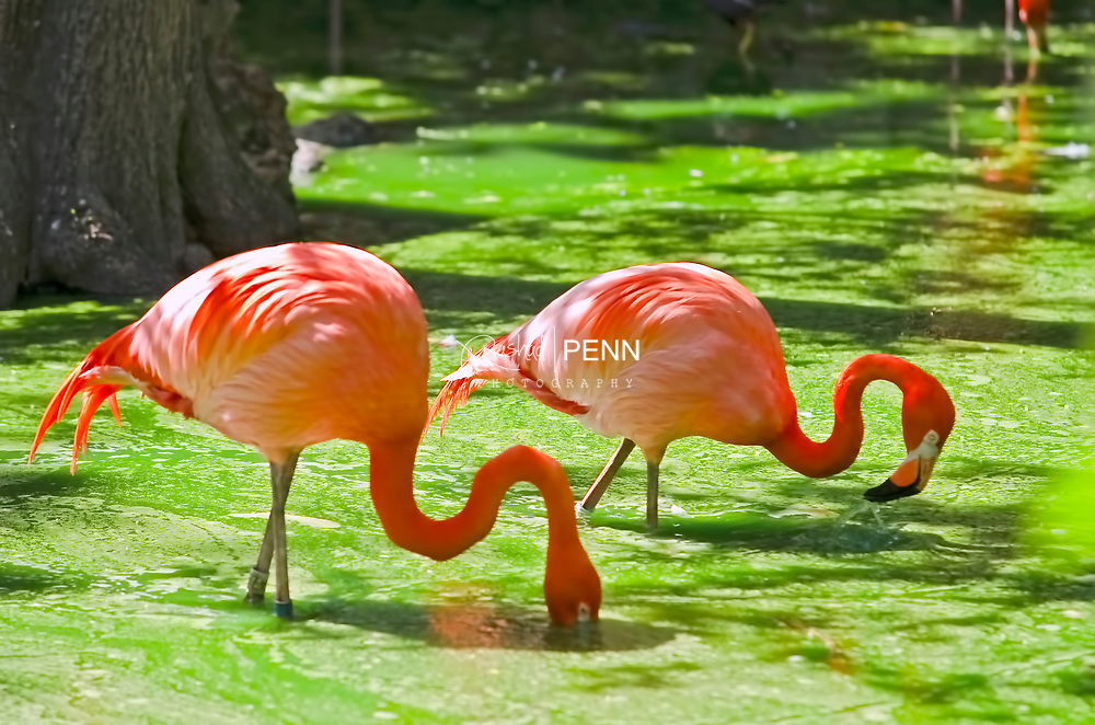 The National Bird of the Bahamas, the West Indian Flamingo. Found mainly on the island of Inagua.