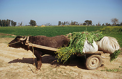 Buffalo cart laden with a mustard like crop used for animal feed in a farm in Punjab; India,