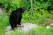 American black bear (Ursus americanus) at edge of forest<br /> Pemberton<br /> British COlumbia<br /> Canada