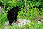 American black bear (Ursus americanus) at edge of forest<br /> Pemberton<br /> British COlumbia<br /> Canada