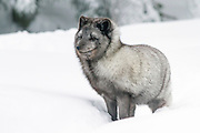 European gray wolf (Canis lupus), in snow, Finland, Lapland