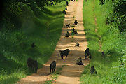 Baboons, Murchison Falls Park, Uganda