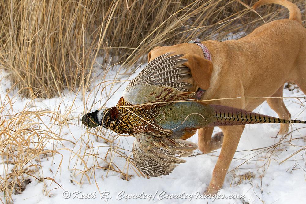 "Tom Taunton's Yellow Labrador retriever ""Rowdy"" pheasant hunting in South Dakota"