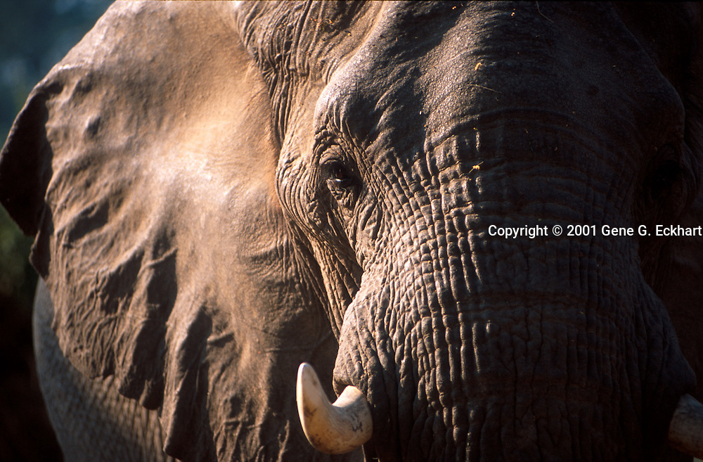 African Elephant (Loxadonta africana)  -   Mana Pools National Park &ndash; Zimbabwe <br /> <br /> Elephants are the largest land animals. The elephant's gestation period is 22 months, the longest of any land animal. At birth it is common for an elephant calf to weigh 120 kilograms (260 lb). They typically live for 50 to 70 years, but the oldest recorded elephant lived for 82 years. The largest elephant ever recorded was shot in Angola in 1956. This male weighed about 12,000 kilograms (26,000 lb), with a shoulder height of 4.2 meters (14 ft), a meter (yard) taller than the average male African elephant. Healthy adult elephants have no natural predators, although lions may take calves or weak individuals. They are, however, increasingly threatened by human intrusion and poaching. Once numbering in the millions, the African elephant population has dwindled.