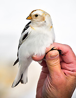A male Snow Bunting awaits banding