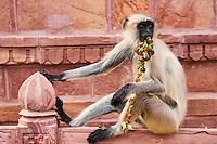 Inde, état du Rajasthan, Mandore dans les environs de Jodhpur, ancienne capitale du Marwar, singe langur // India, Rajasthan, Mandore the old Marwar capital, monkey langur