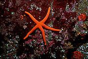 UNDERWATER MARINE LIFE EAST PACIFIC: Northeast SEA STARS: Blood star Henricia leviuscula