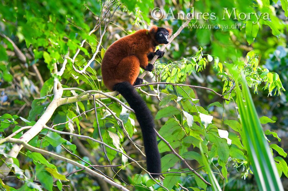 Red Ruffed Lemur (Varecia rubra), adult, Masoala National Park, Madagascar Image by Andres Morya