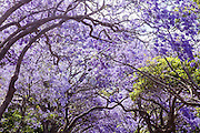 Jacaranda trees in full blossom in a residential street in Kirribilli, Sydney.