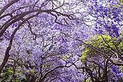 Jacaranda trees in full blossom in a residential street in Kirribilli, Sydney.