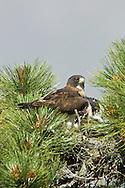 Short-tailed Hawk nest (Buteo brachyurus), Arizona