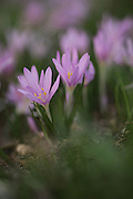 Steven's Meadow-saffron (Colchicum stevenii) Preparations from the roots and seeds of this plant are used to treat gout and rheumatism. They are also used as an emetic. Overdoses can lead to depression and violent purging of the gut. Photographed in Israel in November