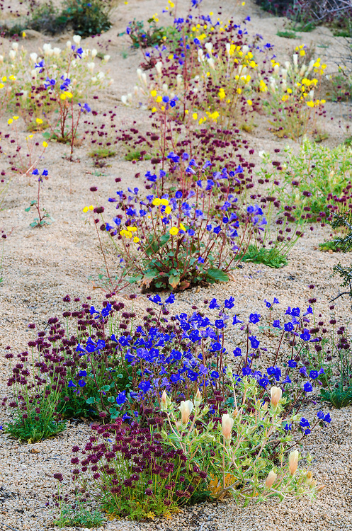Desert wildflowers, Joshua Tree National Park, California USA