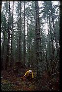 chef Jack Czarnecki harvesting wild chanterelles in the Oregon Coast Range near Dayton, Oregon, home to his restaurant The Joel Palmer House