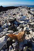 Pueo Bay, Black sand and white coral, Weliweli Point, Kohala Coast, Big Island of Hawaii