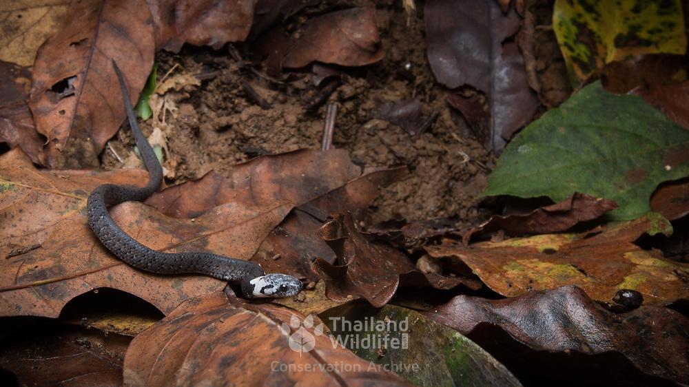 Spotted slug-eating snake (Pareas macularius) neonate in Nan, Thailand