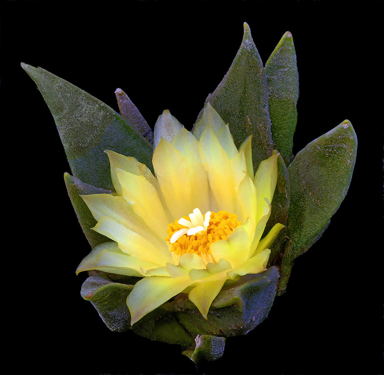 Star cactus (Ariocarpus retusus var. trigonus)