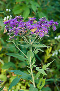 Baldwin Ironweed.Vernonia baldwinii.Roaring River State Park, Missouri, United States.27 August       Flower       Asteraceae