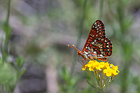 Euphydryas c. chalcedona (Chalcedon Checkerspot) at Grizzly Flat, Angeles NF, Los Angeles Co, CA, USA, on Golden yarrow 28-May-18