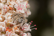 A jumping spider (Habronattus<br /> sp) with prey on California buckwheat flowers (Eriogonum fasciculatum); Cabrillo National Monument
