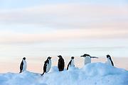 Adélie penguins at Gourdin Island,  Antarctica | Adeliepingviner i Antarktis