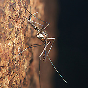 A large member of the Culicidae (mosquitoes) family in the forests of Kaeng Krachan.