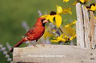 01530-14919 Northern Cardinal (Cardinalis cardinalis) male on fence near Black-eyed Susans (Rudbeckia hirta 'Indian Summer') Marion Co. IL
