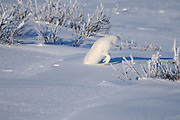 arctic fox leaping after prey