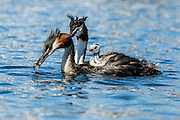 Australasian Crested Grebes are diving waterbirds.  One parent has caught a native bully fish at Lake Wanaka, New Zealand