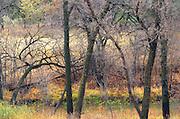 Trees in Seine River Forest. Intimate view<br /> Winnipeg<br /> Manitoba<br /> Canada