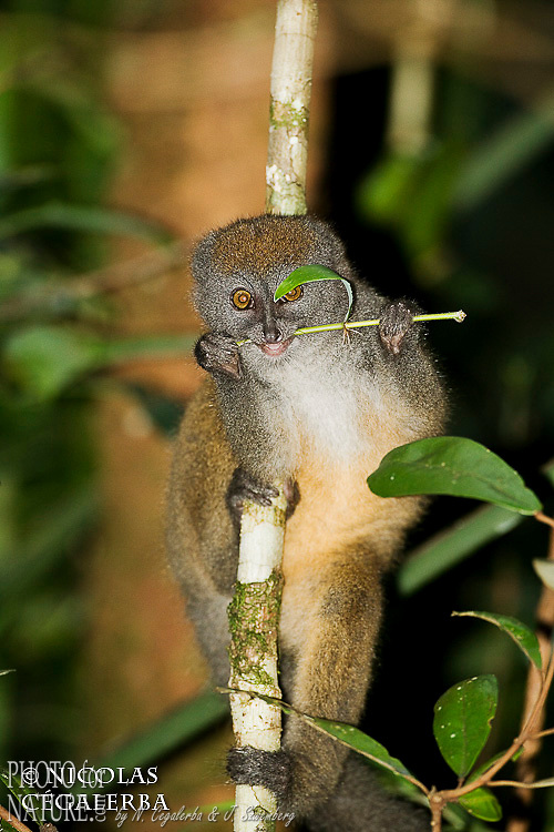 """Hapalémur gris, Hapalemur griseus, se nourrit uniquement de bambou d'où son nom en anglais """"Bambou lemur"""", Parc National d'Andasibe, Madagascar. Statut UICN : Vulnerable"""