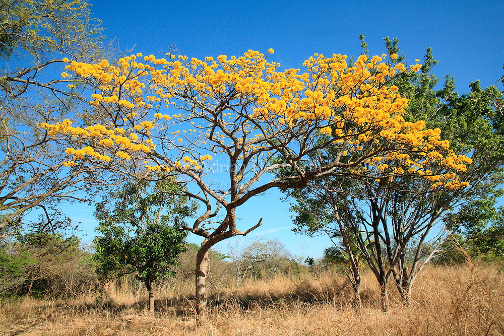 Yellow Cortez (Tabebuia ochracea) branches in flower. Tropical dry forest, Guanacaste, Costa Rica. <br />