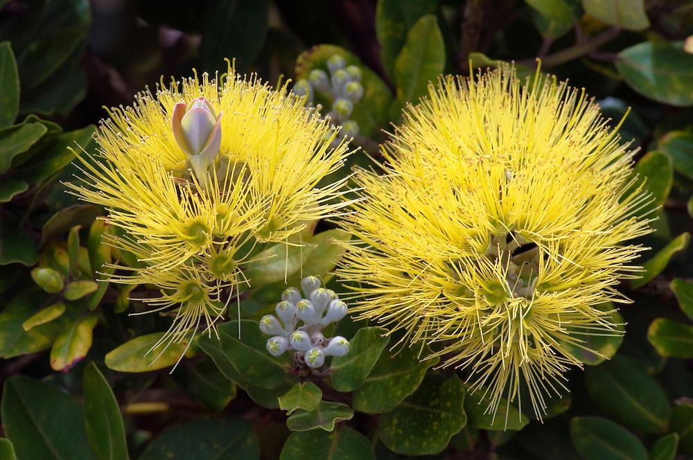 Yellow Ohia  or Lehua Mamo; Waimea, Island of Hawaii..