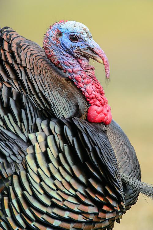 Wild Turkey Profile, Western Montana
