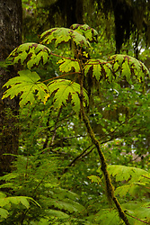 Devil's club, although pesky to hikers, plays an important role in terms of ecosystem services as it stabilizes soils and helps the forest recover from both natural disturbances such as landslides or blowdowns and human incursions like logging. Location: Quinault Rain Forest Trail, Olympic National Forest, Washington, US