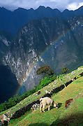 "A rainbow shines over a llama grazing on agricultural terraces at Machu Picchu, Cordillera Vilcabamba, Andes mountains, Peru, South America. Machu Picchu was built around 1450 AD as an estate for the Inca emperor Pachacuti (14381472). Spaniards passed in the river valley below but never discovered Machu Picchu during their conquest of the Incas 1532-1572. The outside world was unaware of the ""Lost City of the Incas"" until revealed by American historian Hiram Bingham in 1911. Machu Picchu perches at 2430 meters elevation (7970 feet) on a well defended ridge 450 meters (1480 ft) above a loop of the Urubamba/Vilcanota River ( Sacred Valley of the Incas). UNESCO honored the Historic Sanctuary of Machu Picchu on the World Heritage List in 1983."