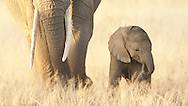 This little elephant was only a few days old and never strayed far from mother's feet.<br />