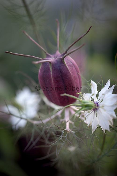 Nigella damascena 'Albion Black Pod' - love-in-a-mist