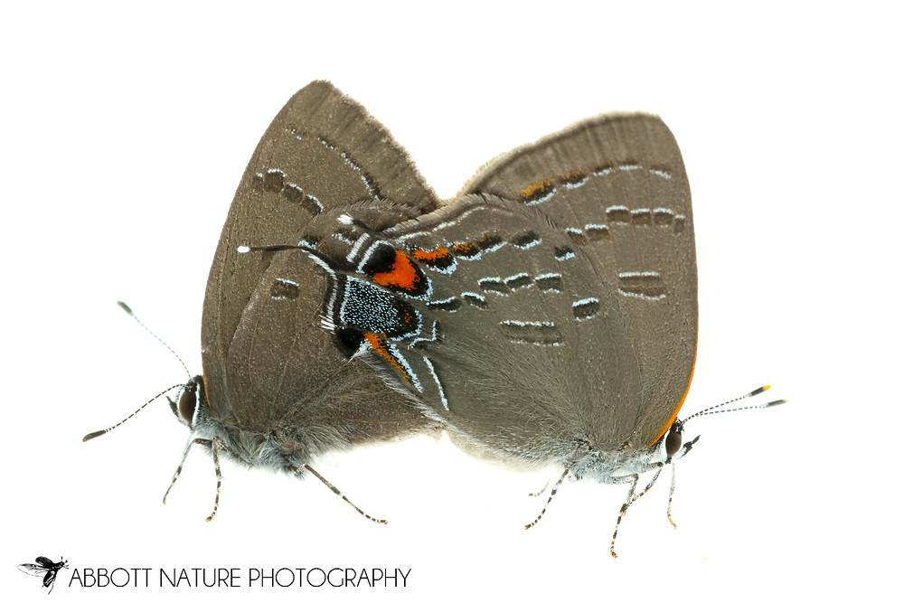 Banded Hairstreak - Hodges#4282 (Satyrium calanus) mating<br /> United States: Alabama: Tuscaloosa Co.<br /> Tulip Tree Springs off Echola Rd.; Elrod<br /> 28-May-2016<br /> J.C. Abbott #2822 &amp; K.K. Abbott