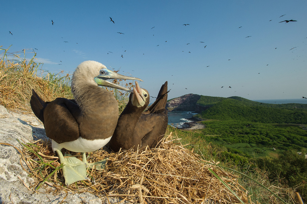 Pacific Brown Booby (Sula leucogaster etesiaca), an endemic subspecie of the tropical American Pacific.  Isla Isabel, Nayarit, Mexico.