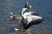 Graylag goose, Anser anser, flapping wings on Tarn Hows lake in the Lake District National Park, Cumbria, UK