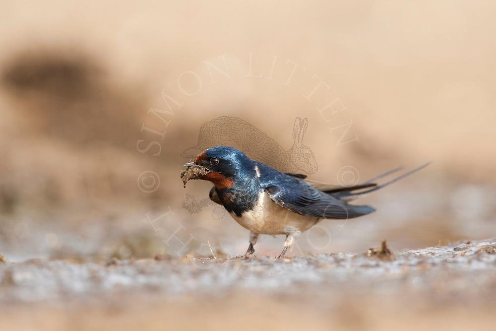 Swallow (Hirundo Rustica) adult on ground gathering nest material, UK.