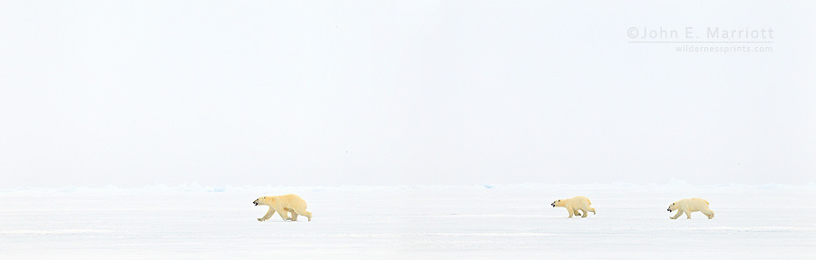 Polar bear running in fear from Inuit hunters on the sea ice north of Baffin Island, Nunavut, Canada