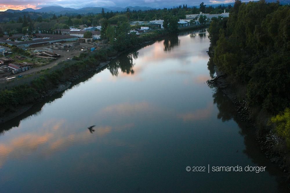 A swallow flies above the Napa River in Napa, California,USA.
