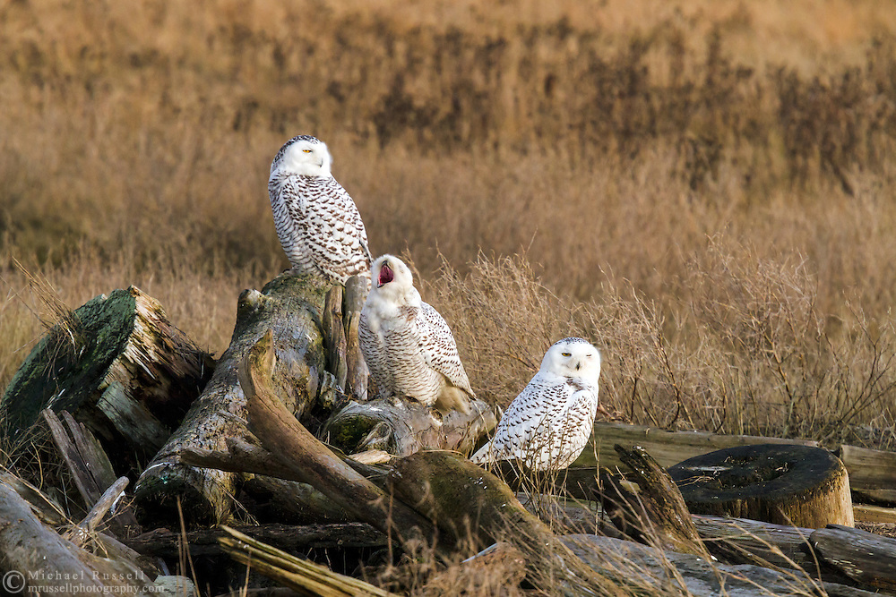 A group of Snowy Owls (Bubo scandiacus) resting before hunting in the evening at Boundary Bay in Delta, British Columbia, Canada